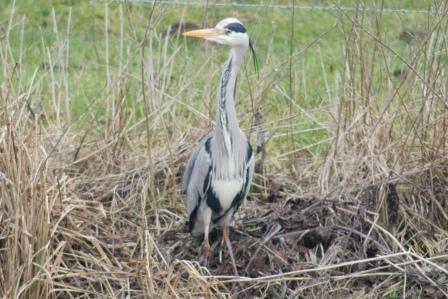 This Heron is a daily visitor to Willow Springs